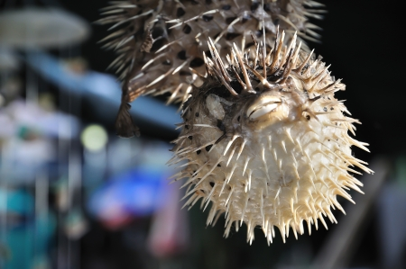 Close-up of dried puffer fish hanging at a souvenir stall, Cheung Chau, Hong Kong  The island is a popular weekend and holiday destination  photo