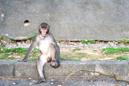 country park: Macacos Rhesus con objeto atorado en su garganta ante Kam Shan Country Park, de Hong Kong