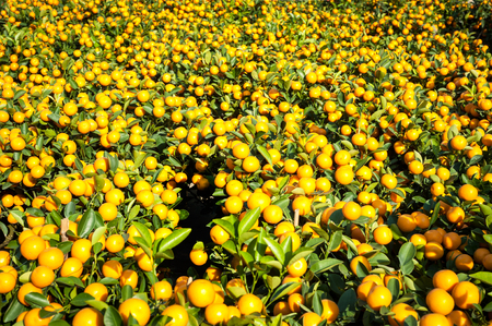 victoria park: Mandarin orange plants at the New Year flower market in Victoria Park, Hong Kong Stock Photo