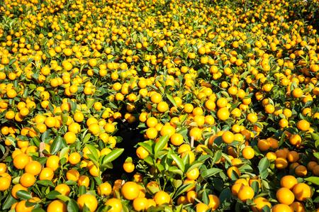 Mandarin orange plants at the New Year flower market in Victoria Park, Hong Kong Stock Photo - 26812735