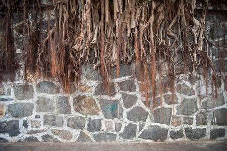 Banyan tree root growing against a stone wall, Hong Kong Stock Photo