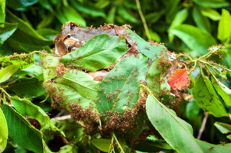 creepy crawly: Army of red ants building a nest of leaves Stock Photo