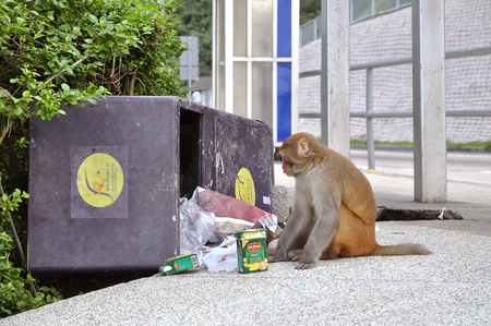 country park: Monkey eating from a rubbish bin at Kam Shan Country Park, Kowloon Stock Photo