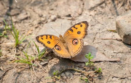 孔雀パンジー蝶(ジュニア・アルマナ)。ピーコックパンジーは、南アジアと東アジアに共通しています。