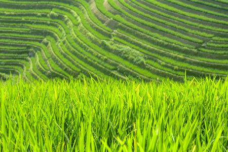Close-up of green rice plants growing in the fields of the Longsheng Rice Terraces, Guangxi Province, China
