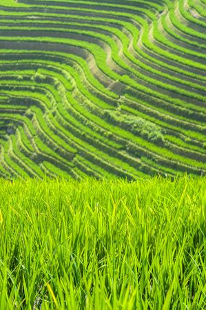 Green rice plants growing in the fields of the Longsheng Rice Terraces, Guangxi Province, China