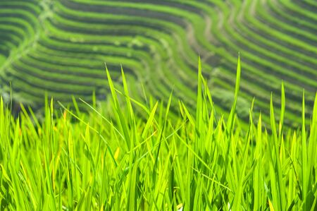Green rice shoots growing at the Longsheng Rice Terraces, Guangxi Province, China