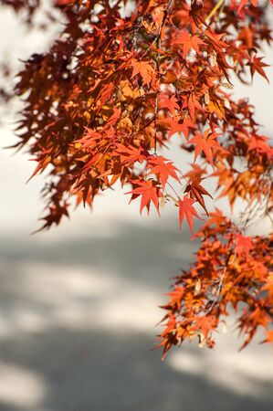 Red and orange leaves of the Japanese maple tree.
