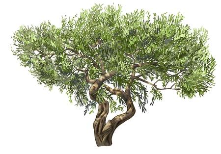 foglie ulivo: Olive albero isolato