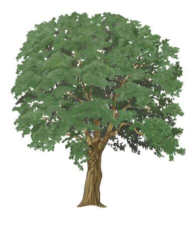 oaken: oak tree isolated  Stock Photo