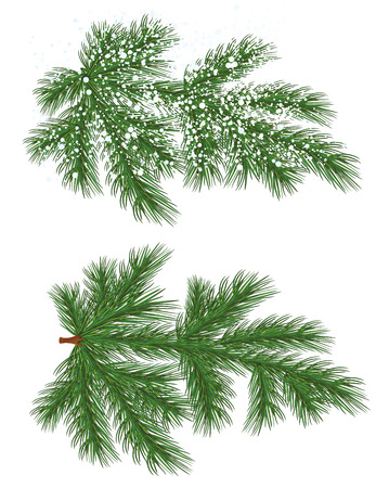 pine decoration: Vector isolated nature Pine branch with snow