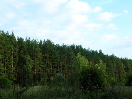 treetops: autumn confire forest, sunshine day, tree-tops, forest meadow