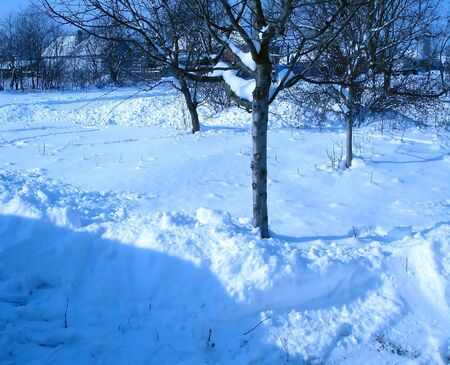 snowdrifts: trees in snowdrifts at frosty sunshine day