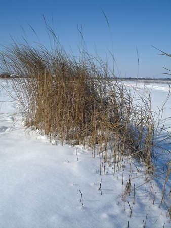 snowdrift: dry shrub in snowdrift, cold winter day
