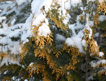 Thuja under snow at sunny day   photo