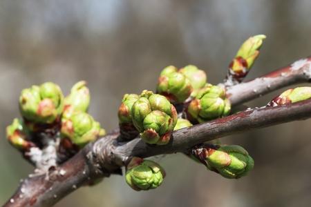cherrytree: buds of cherry-tree in spring garden