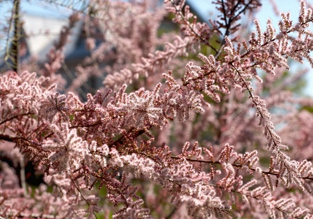 arbre: tamarix flowers in spring time close-up
