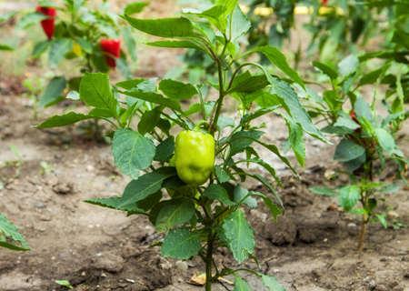 bush pepper: Green paprika pepper growing on a bush at garden Stock Photo