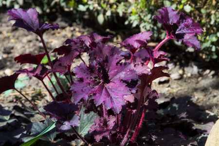 coral bell: Heuchera micrantha at sunny sping day Stock Photo