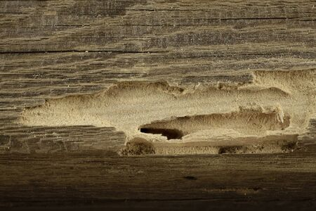A piece of old timber with woodworm shrimp