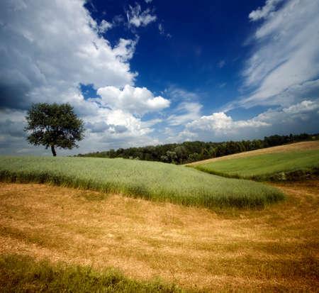 kazimierz dolny: Lonely tree on fields of partially mown rye near Kazimierz Dolny, Poland