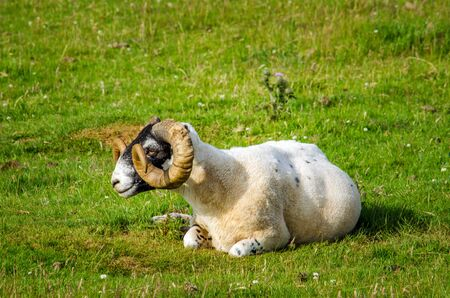 Mull: Blackface scottish sheep on the grass, Isle of Mull, Scotland