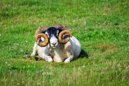 Blackface scottish sheep en face on the grass, Isle of Mull, Scotland