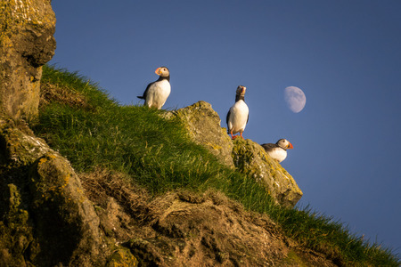 puffins: Three puffins on Mykines island with moon in background, Faroe Islands