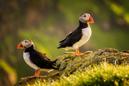Two puffins on Mykines island in sunset light, Faroe Islands