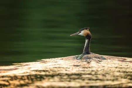 The Grebe on Maroz Lake on Mazury, Poland
