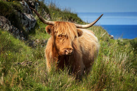 Highland cattle on Isle of Mull in sunny weather, Scotland
