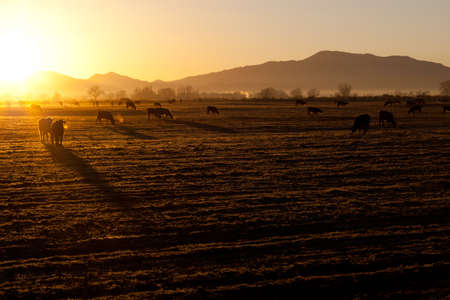 cattle grid: A beautiful morning sunrise on the cold crisp Nevada field.  The cows are out early and ready to eat. Stock Photo