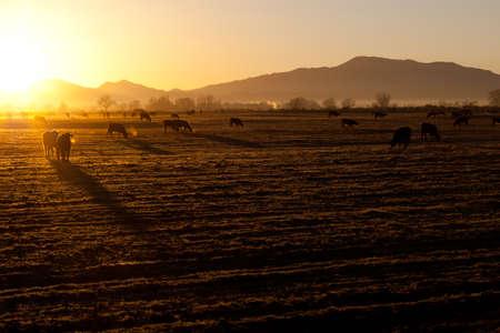 rancho: Un hermosa ma�ana amanecer en el campo de Nevada n�tido fr�o.  Las vacas son principios y listos para comer. Foto de archivo
