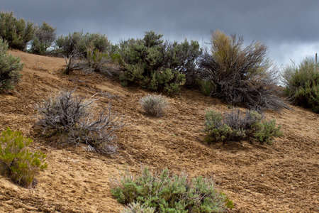 sagebrush: An amazing photograph of some sagebrush with a cloudy background.