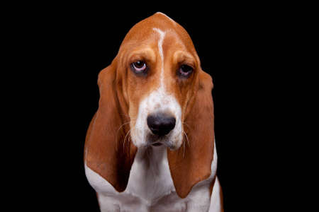 hound: A well lit isolation of a sad Bassett Hound on black.