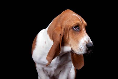hounds: A crisp isolation of a Bassett Hound Stock Photo