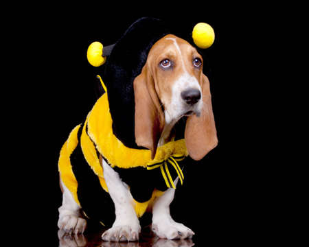 A funny image of a Bassett Hound in a bumble bee costume. photo