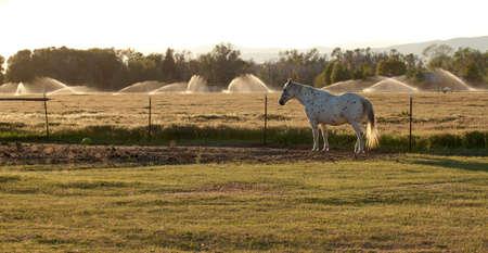 Ein schönes Bild eines Appaloosa-Pferdes. Dieses Bild wurde während des goldenen Stundensonnenuntergangs gemacht. Standard-Bild - 9896050