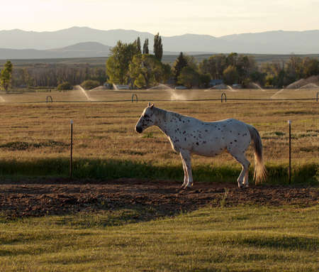 A beautiful image of an Appaloosa horse.  This image was taken during golden hour sunset. Standard-Bild - 9892919