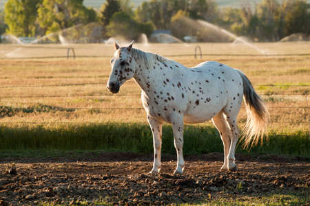 A beautiful image of an Appaloosa horse.  This image was taken during golden hour sunset. Standard-Bild