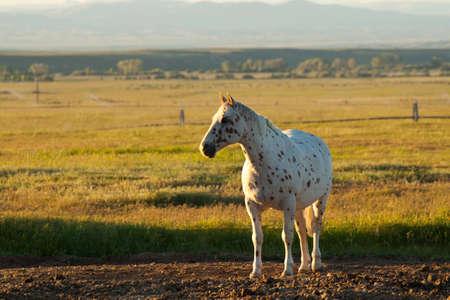 Ein schönes Bild von einem Appaloosa Pferd. Dieses Bild wurde während der goldenen Stunde Sonnenuntergang aufgenommen. Standard-Bild - 9896051