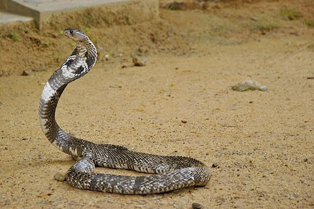 dread: Dangerous poisonous cobra on sand ground