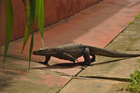 nightmarish: Iguana crawling cross street Stock Photo