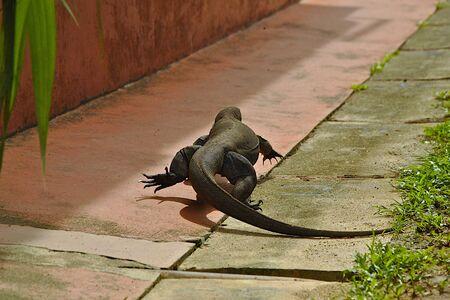 nightmarish: Iguana crawling cross street Stock Photo