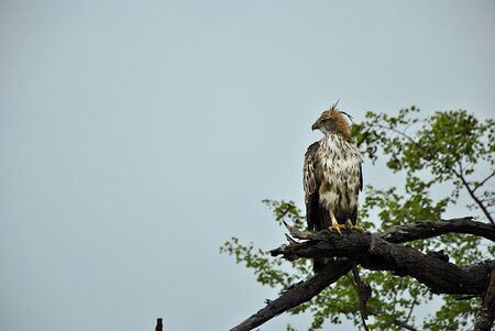 bough: Seahawk sitting on bough of tree in wild Stock Photo