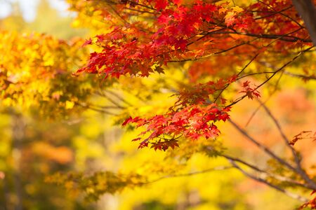 yellow trees: Autumn yellow and red maple trees in Japan. Stock Photo