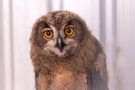 virginianus: Owl close up, wildlife animal Stock Photo