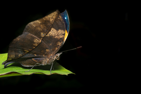leaf butterfly (Kallima inachus) , macro photograph, wildlife animal