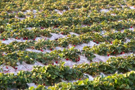 loei: Strawberry field, Agriculture in northern of Thailand.