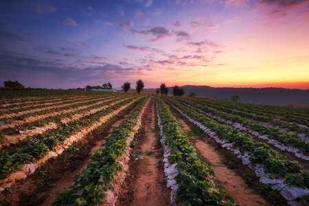 Strawberry field landscape view at sunset